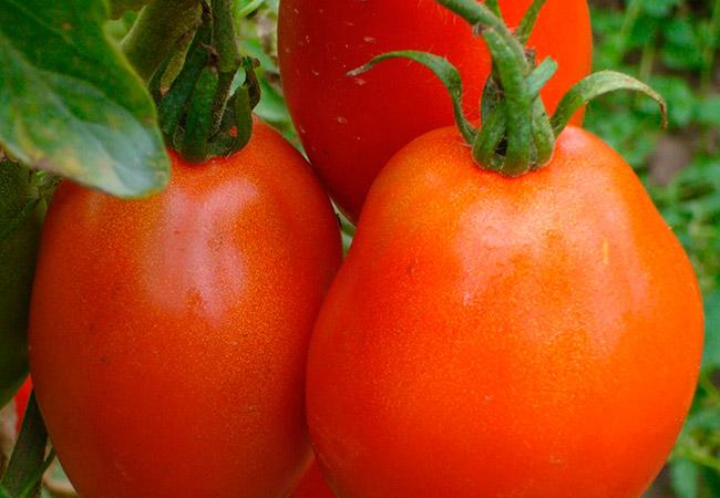 Сорт томата боец (буян): описание, характеристика