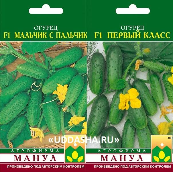 Огурцы самоопыляемые пучковые: лучшие сорта длительного плодоношения (как выбрать семена)