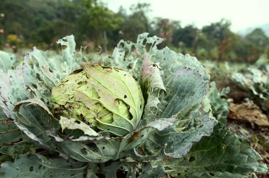 Народные средства от вредителей капусты – чем обработать растения