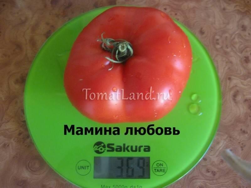 Идеальный на вид и на вкус томат «ранняя любовь»: выращиваем правильно и ставим рекорды урожайности