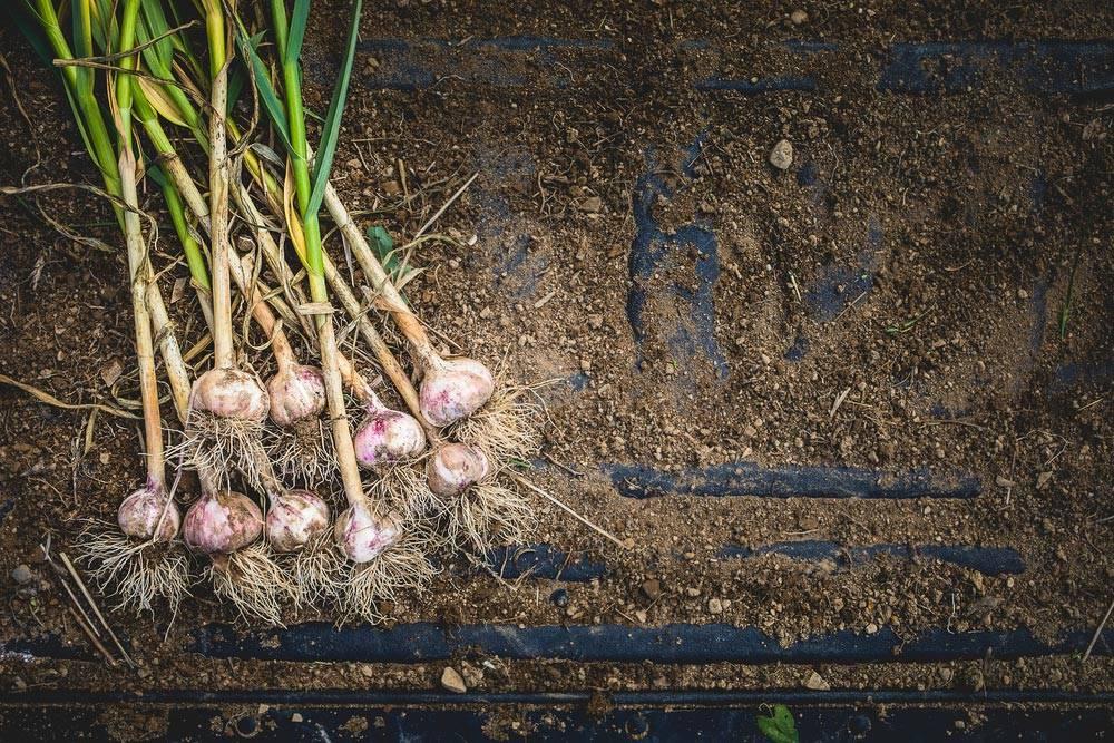 Как вырастить яровой чеснок – особенности выращивания в открытом грунте