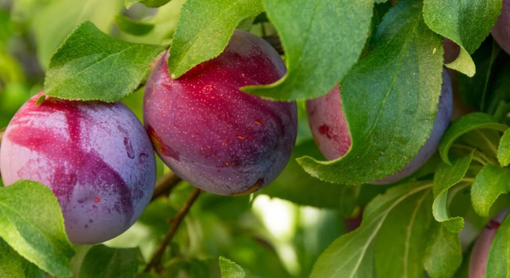 Слива красный шар: описание сорта и характеристики, способы выращивания и ухода с фото