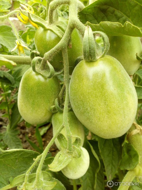 Мохнатый шмель — сорт растения томат