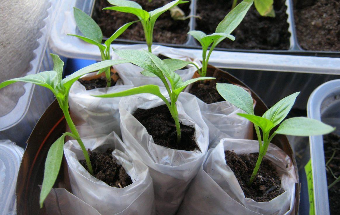 Посадка семян томатов на рассаду: правила посева и выращивания
