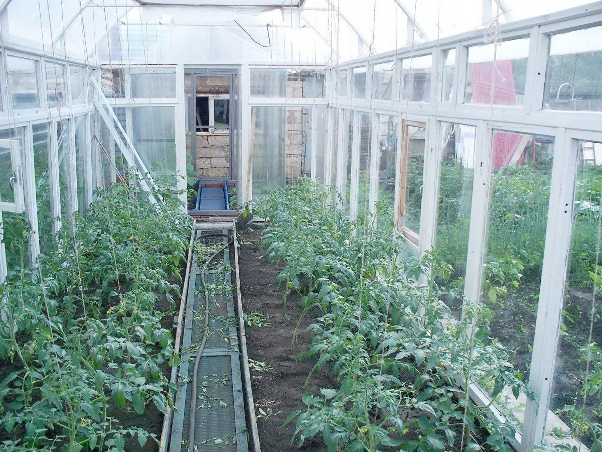 Помидоры в парнике: посадка, уход и содержание томатов (видео + 95 фото)