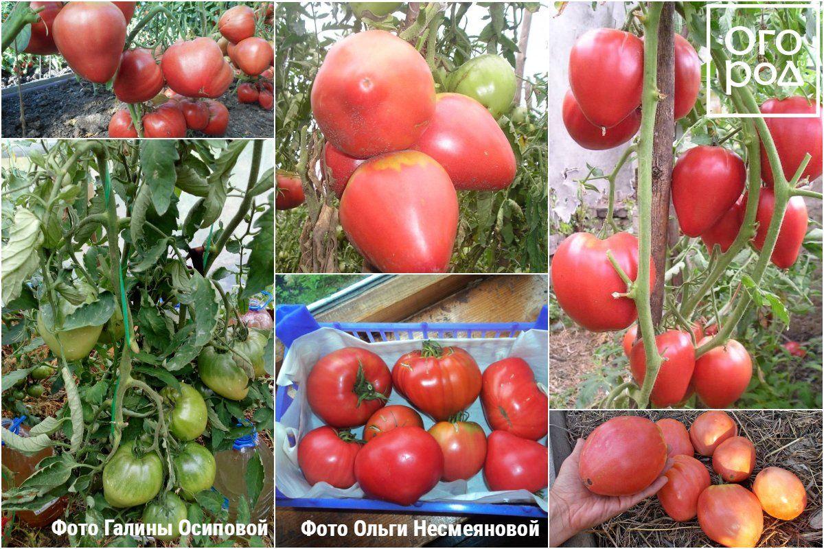 Томат орлиный клюв - описание сорта, характеристика, урожайность, отзывы, фото