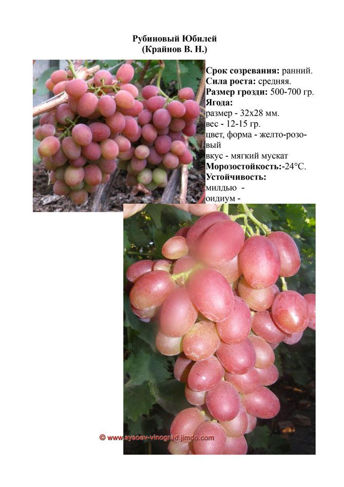 Виноград рубиновый юбилей: описание сорта, фото, отзывы