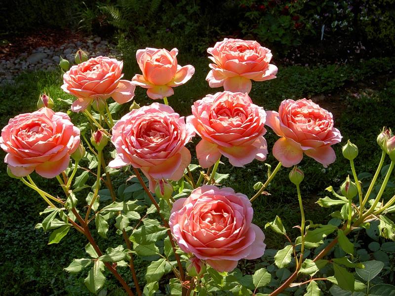 Сорта роз: описание с фото и названиями для подмосковья