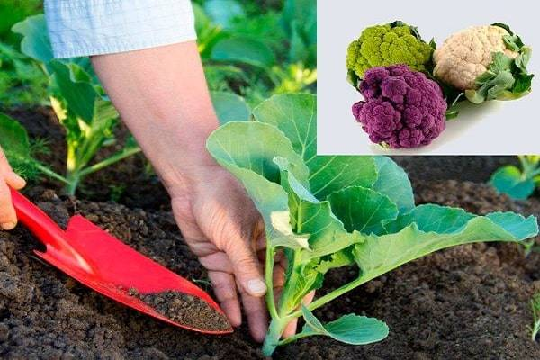 Внесение удобрений при выращивании цветной капусты: чем подкормить овощ, также после высадки в открытый грунт?