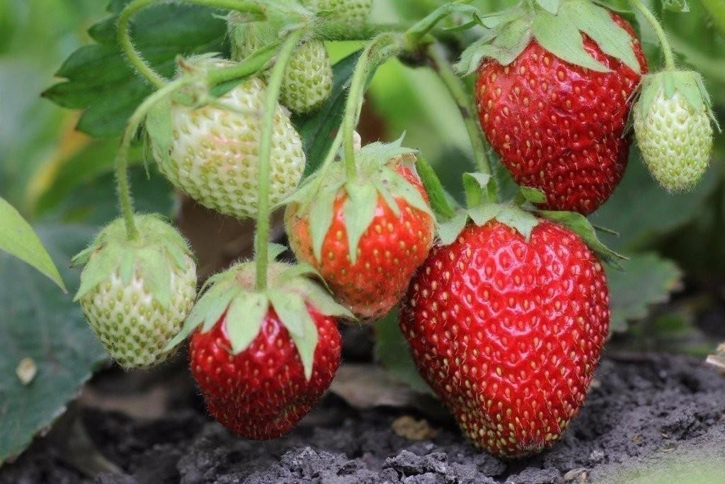 Клубника витязь - рекомендации по выращиванию и сортовые особенности