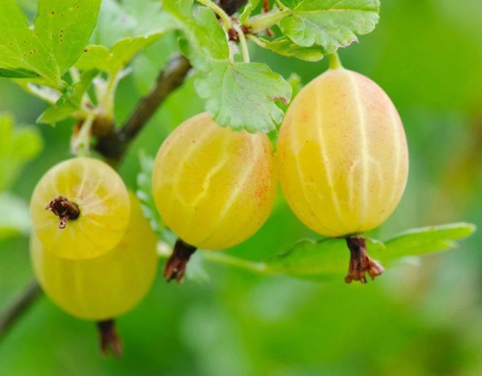 Сорт крыжовника русский желтый: описание, характеристика и выращивание
