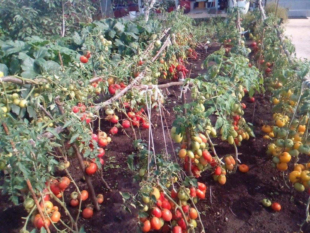 Томат галина f1: характеристика и описание сорта, отзывы об урожайности помидоров, фото куста