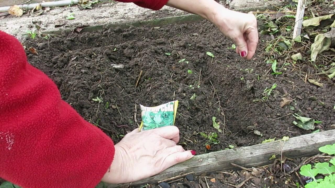 Пастернак: как выращивать, как сажать семенами в открытый грунт, уход, посадки весной, как сеять на рассаду, уборка и хранение