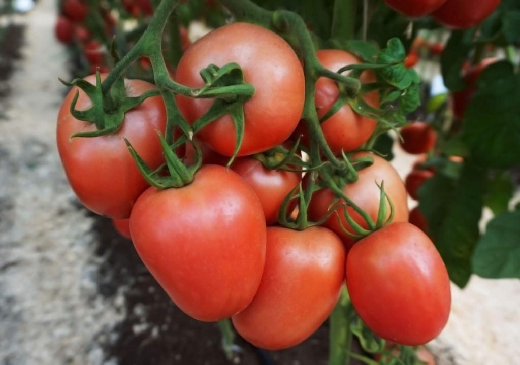 Лучшие сорта томатов для засолки в бочках и консервирования: с фото и названиями для сибири, урала, подмосковья и других регионов.