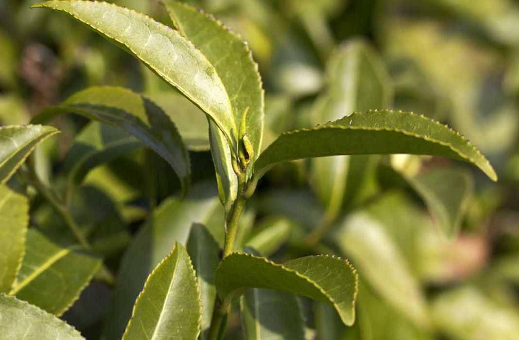 Чай (растение) — википедия. что такое чай (растение)