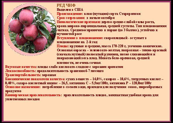 Описание и тонкости выращивания яблони сорта Ред Чиф