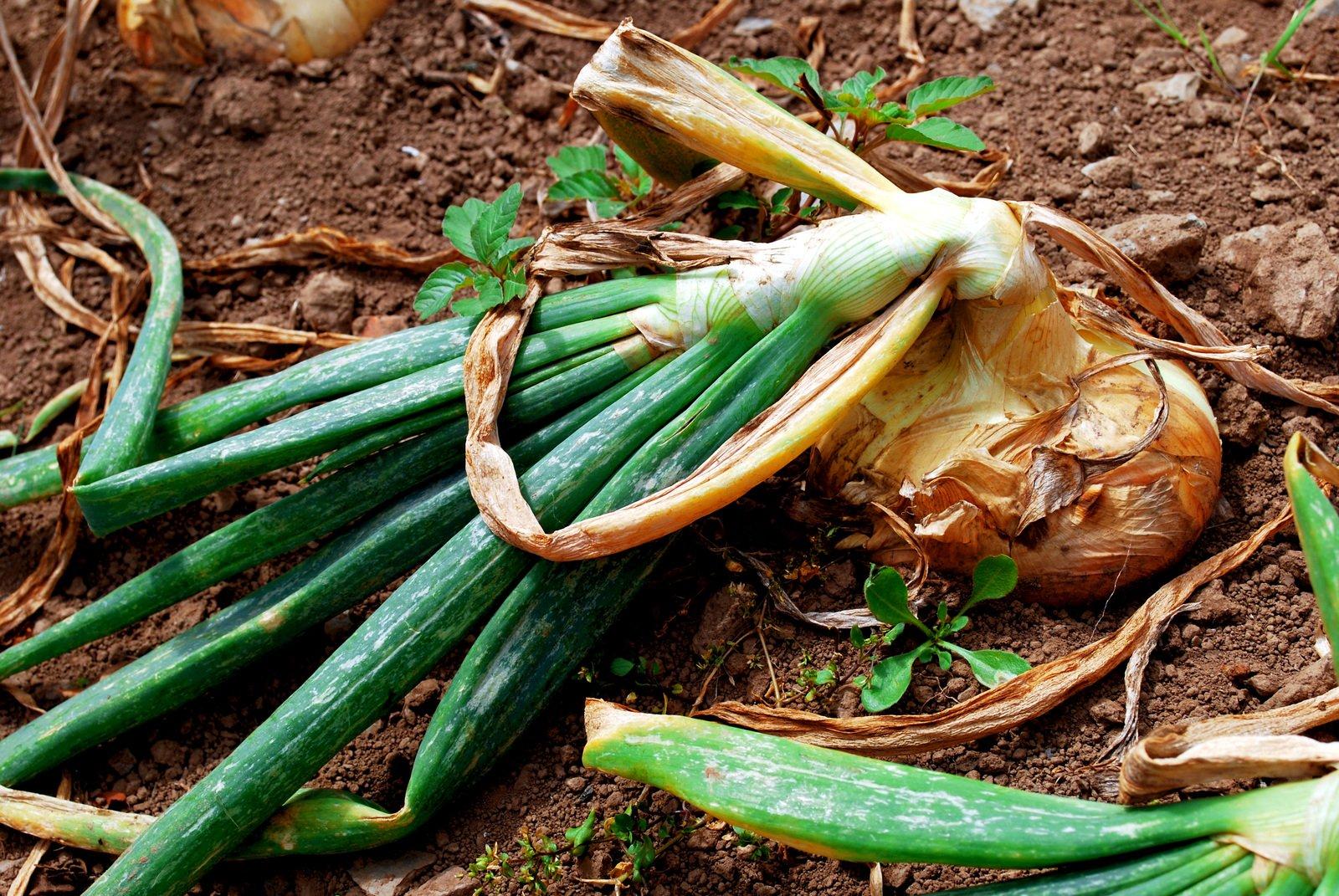 Чем подкормить лук весной
