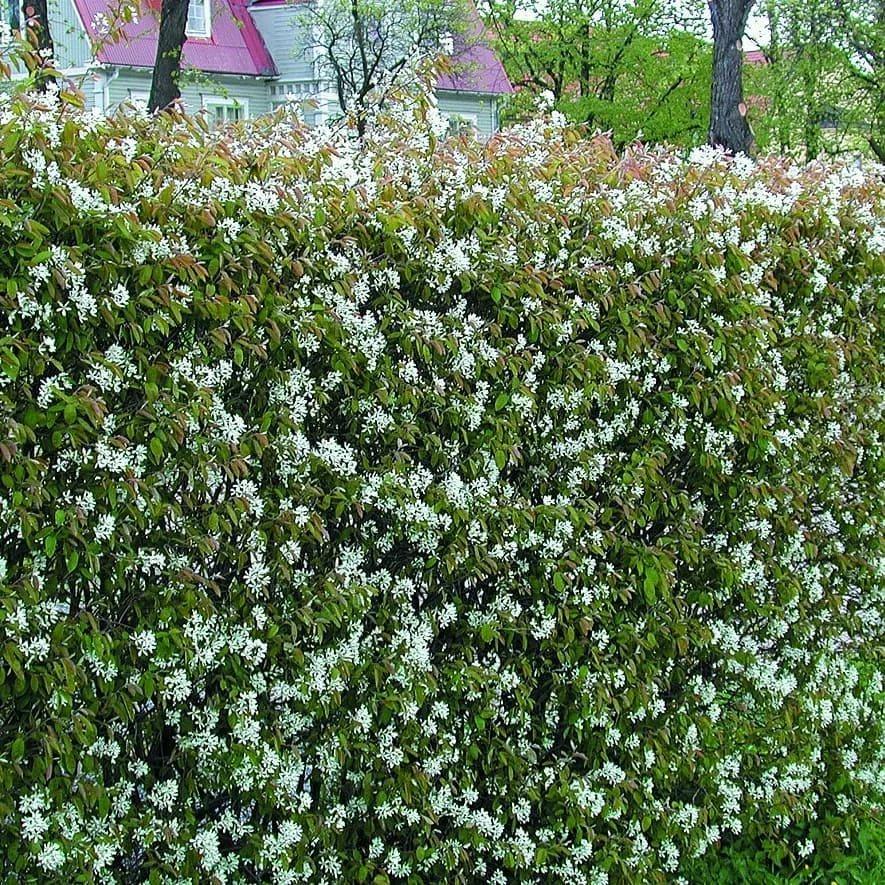 Садовый кустарник жасмин: ухода за растением, пересадка и размножение взрослого куста