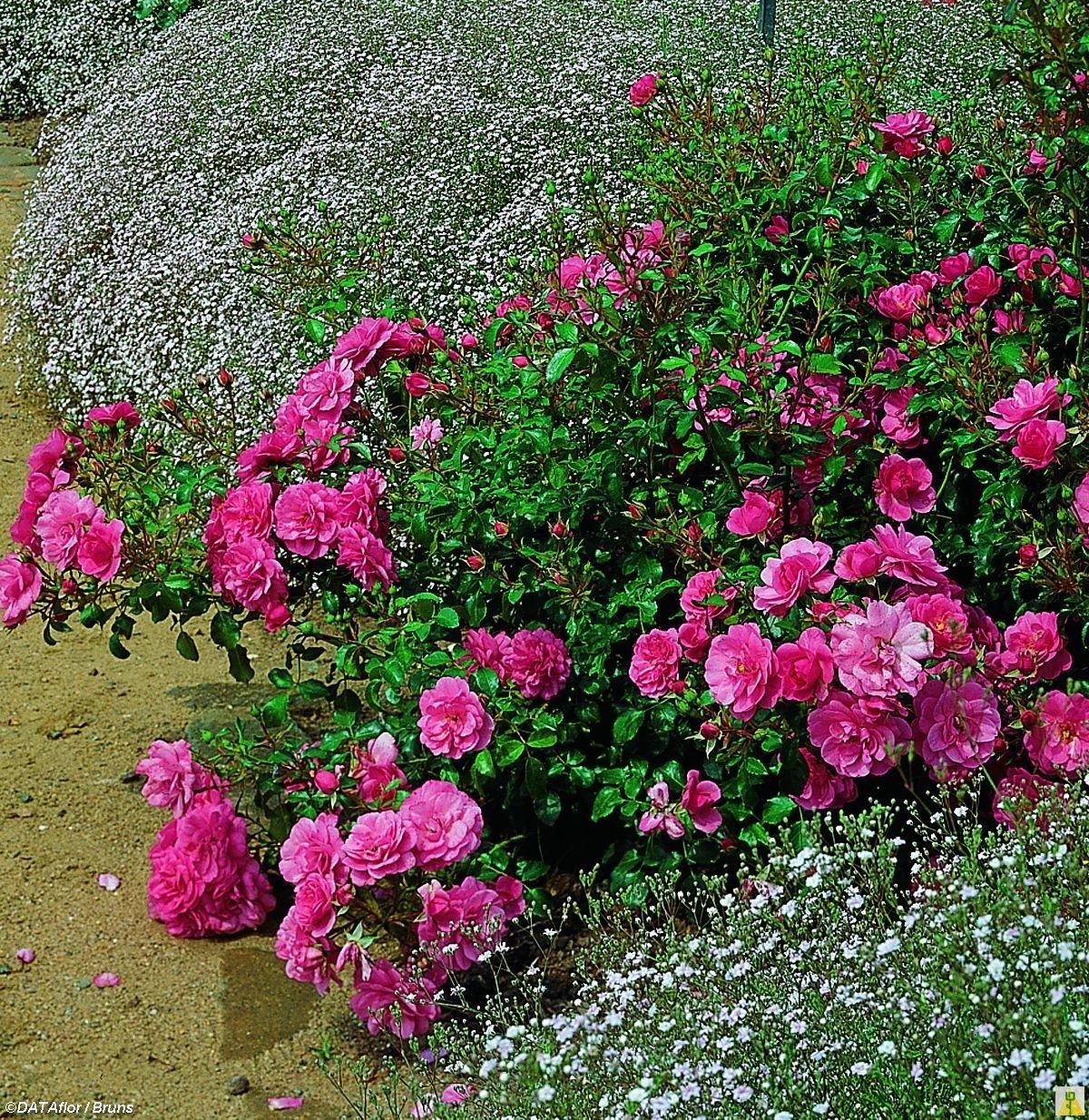 Почвопокровные розы: лучшие сорта, особенности посадки, выращивание и рекомендации по уходу - sadovnikam.ru