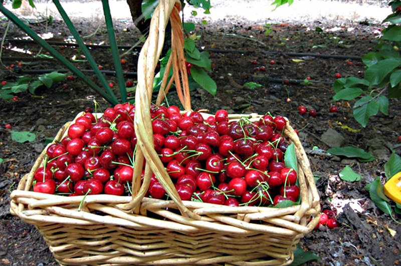 ✅ когда созревает черника: когда начинать собирать ягоды в лесу, сезон сбора в подмосковье и других регионах, как цветёт - tehnoyug.com