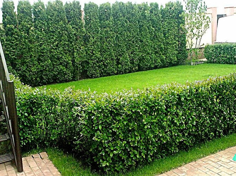 Как украшает сад кизильник блестящий – живая изгородь без особых хлопот