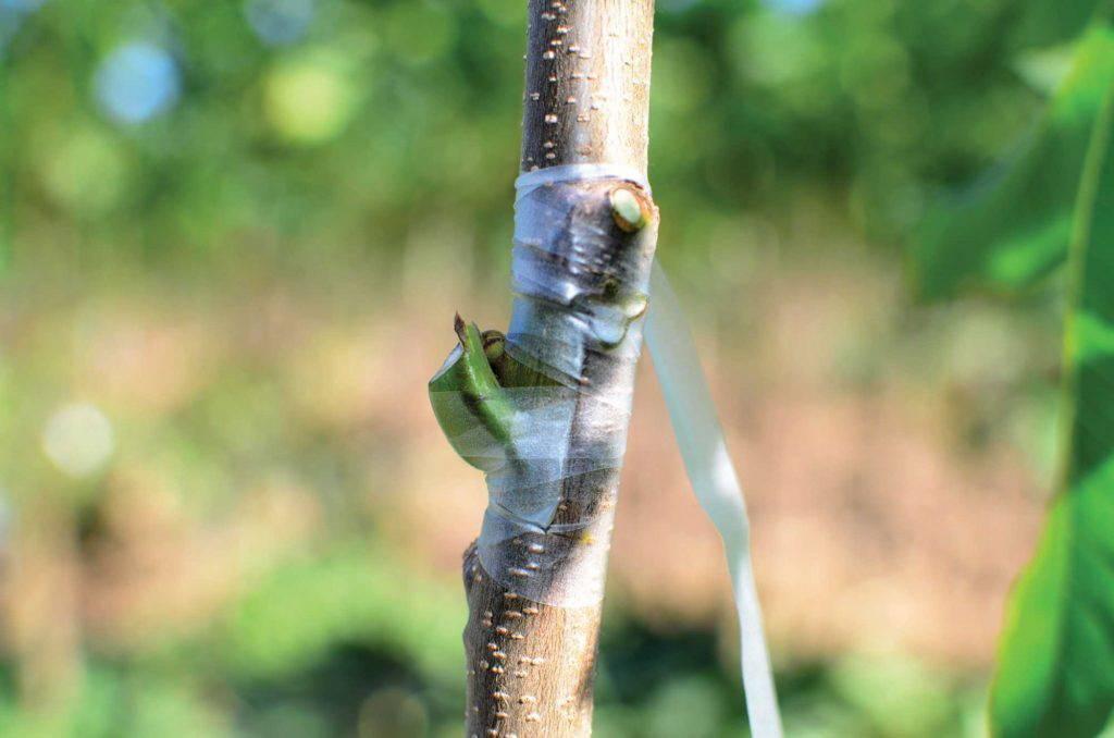 На какое дерево можно привить грецкий орех