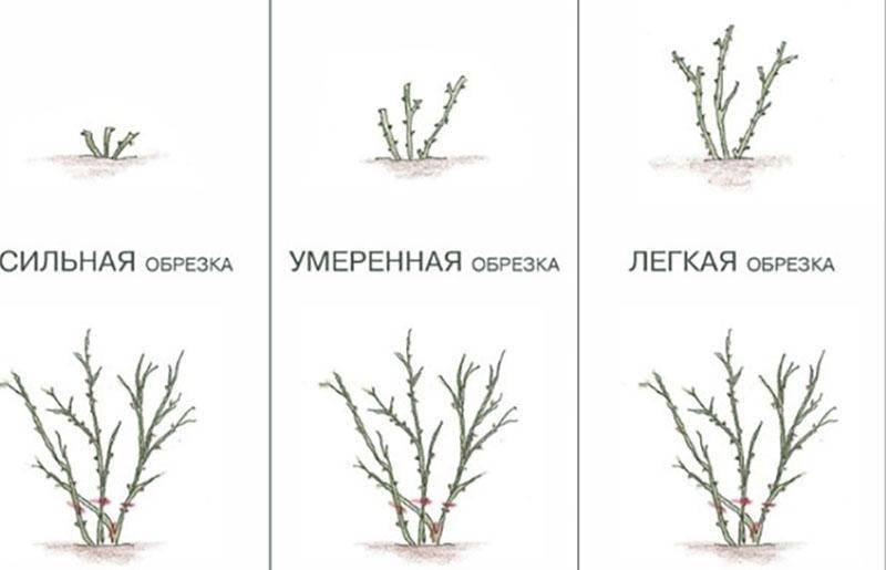 Подготовка роз к зиме — полезные советы по уходу и обрезке