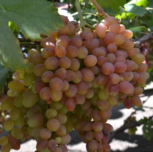 Кишмиш лучистый – описание сорта винограда, отзывы