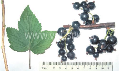 Черная смородина ядреная: отзывы, фото, описание сорта, характеристика, урожайность, выращивание, размножение, посадка и уход