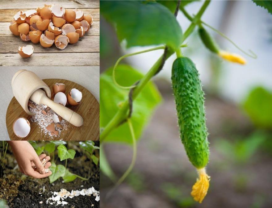 Лучшие рецепты для подкормки огурцов в домашних условиях и правила внесения удобрений