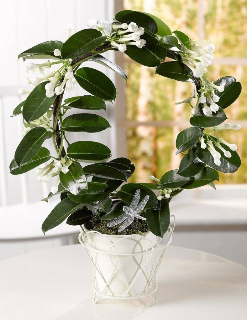 Стефанотис: какой уход нужен мадагаскарскому жасмину для цветения в домашних условиях