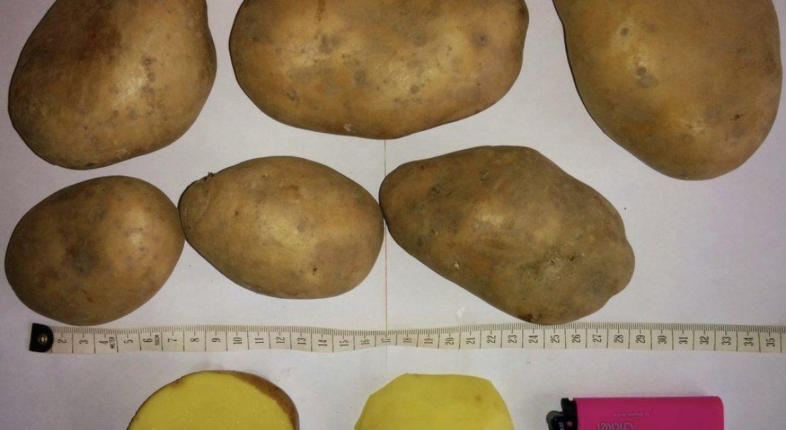 ᐉ сорт картофеля «вектор» – описание и фото - roza-zanoza.ru