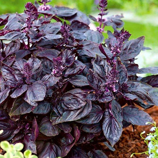 Все о базилике: как его выращивать, размножать, какие есть сорта, полезные свойства растения