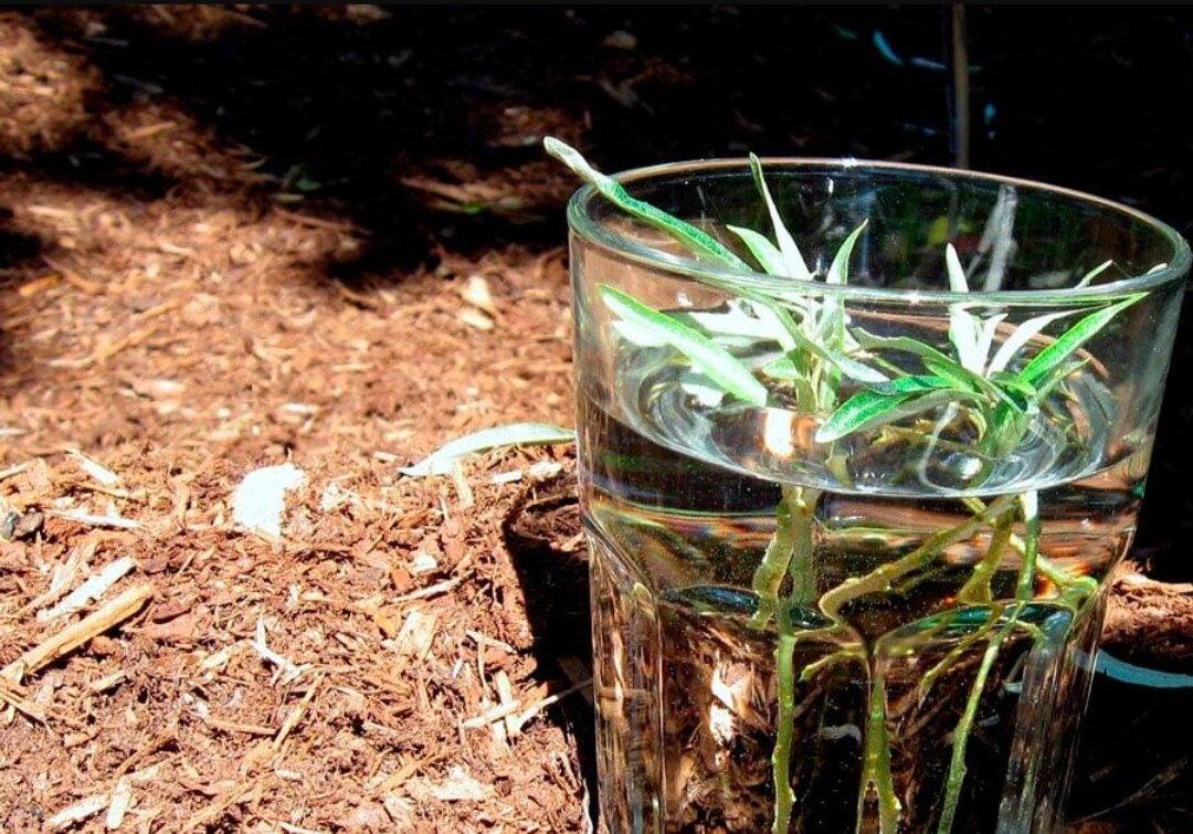 Посадка и уход за травой тархуна в открытом грунте, выращивание из семян
