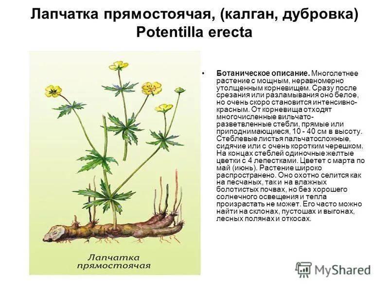 Калган, корень лапчатки прямостоячей: лечебные свойства, лечение корнем