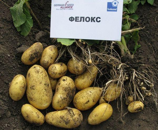 Картофель каратоп - описание сорта, фото, отзывы