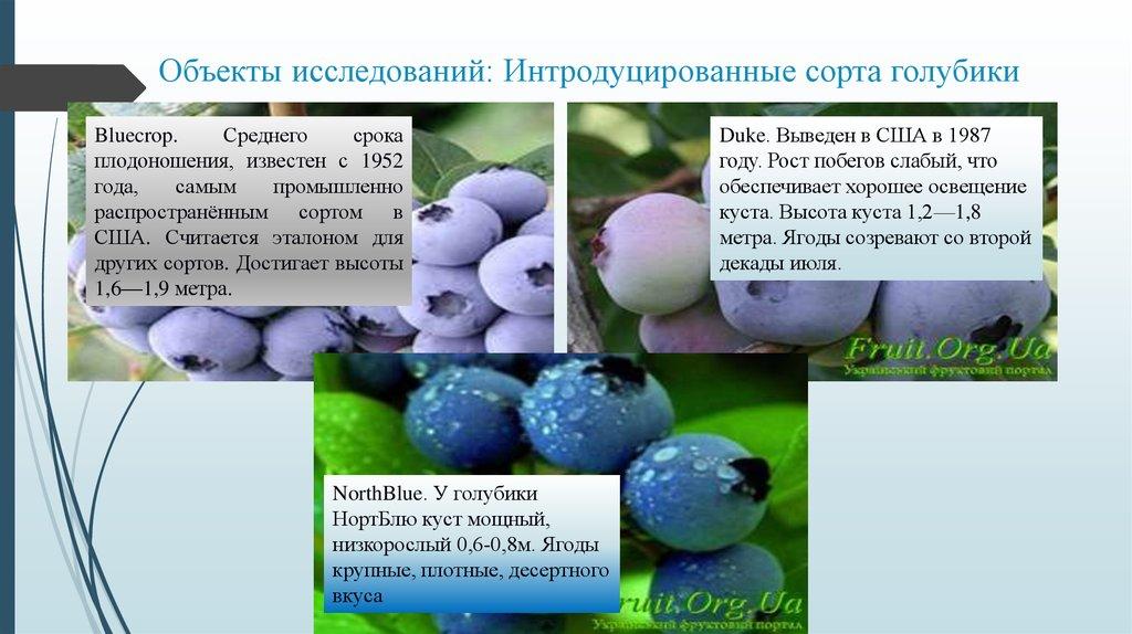 Голубика дюк: описание сорта с характеристикой и отзывами, особенности посадки и выращивания, фото