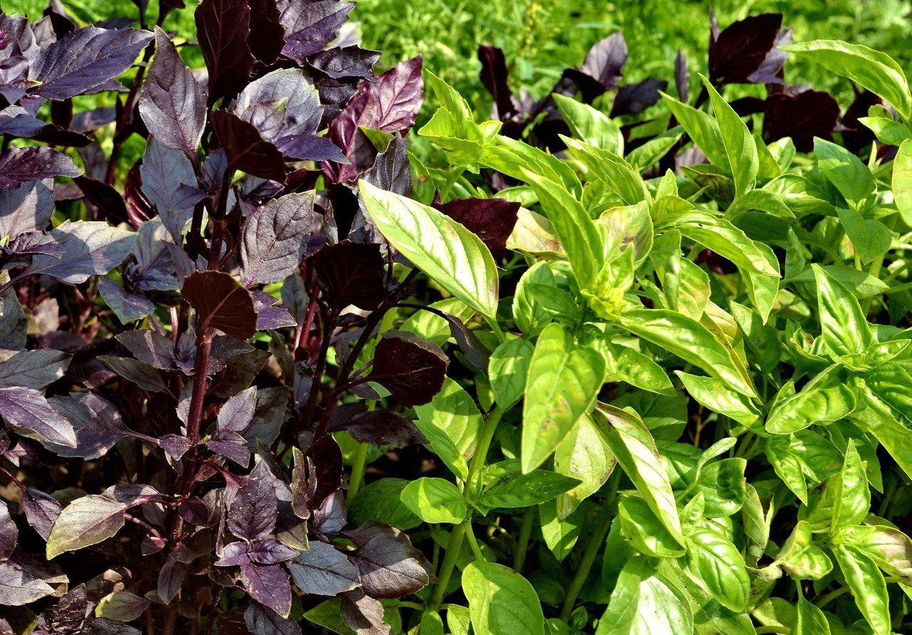 Базилик: сорта, виды, описание свойств и особенностей выращивания (125 фото + видео)
