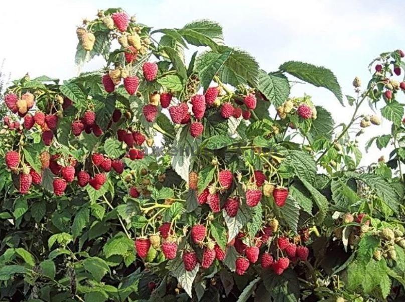 Малина таруса: дань моде или чудесное малиновое дерево?