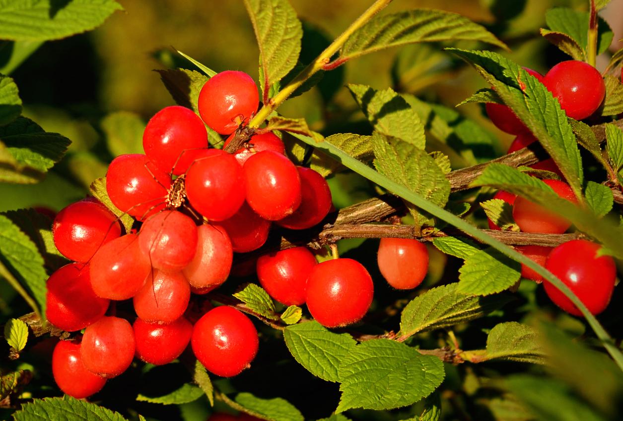 Вишня войлочная натали: описание сорта, опылители вишня войлочная натали: описание сорта, опылители