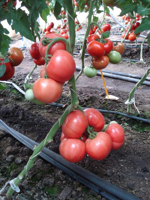 Описание томата Эсмира и выращивание гибрида на приусадебном участке