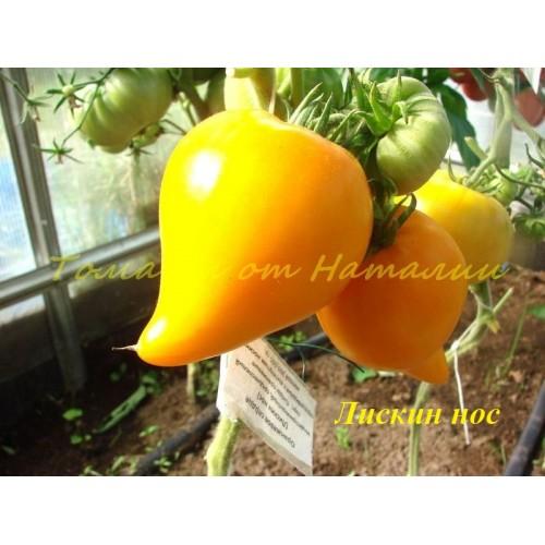 Томат оранжевое сердце лискин нос характеристика и описание сорта урожайность с фото