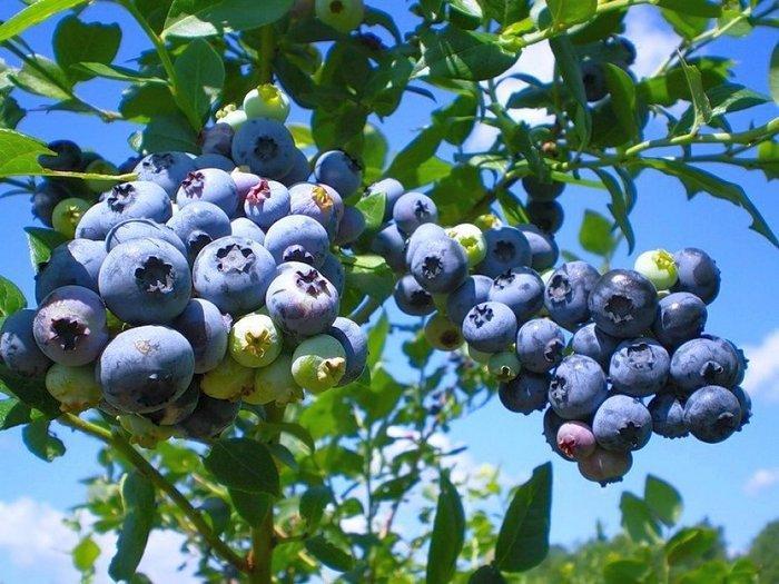 Голубика бонус: описание сорта с характеристикой и отзывами, особенности посадки и выращивания, фото