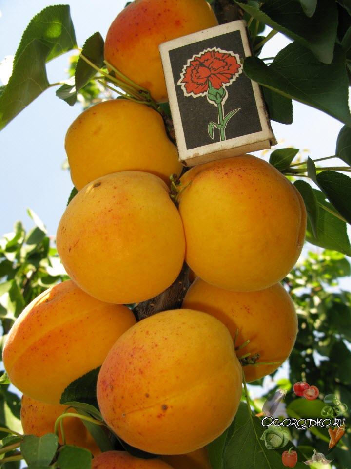 Абрикос чемпион севера: описание и характеристики сорта, выращивание, отзывы