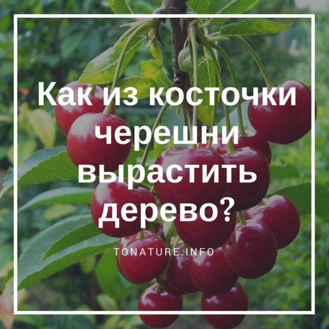 Почему не плодоносит вишня? дельные советы