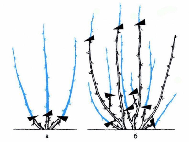 Обрезка крыжовника весной и осенью – советы садоводов