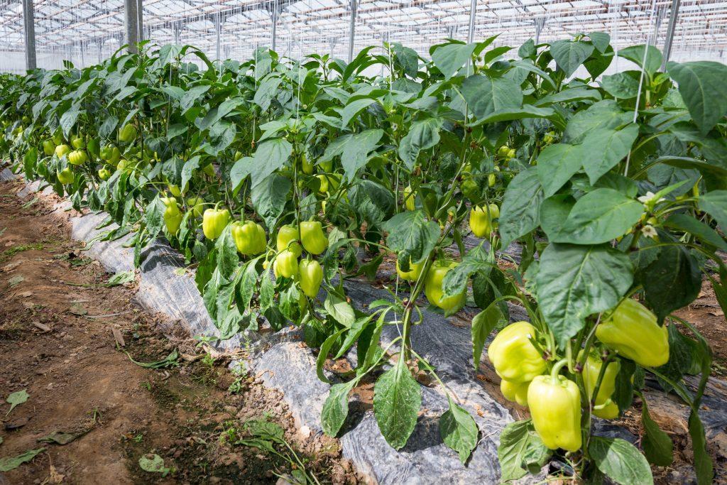 Посадка, выращивание и уход за рассадой перцев на Урале и Сибири