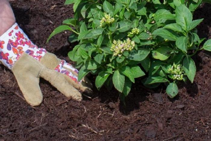 Всё о посадке и уходе за кампанулой садовой многолетней в открытом грунте