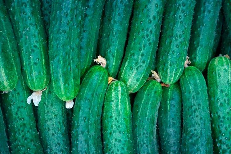 Выращивание огурца мамлюк
