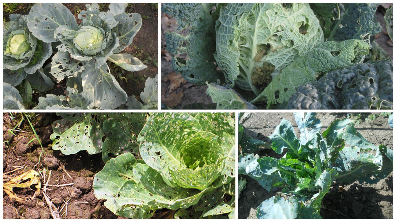 Чем обработать капусту от гусеницы: химические средства и народные методы